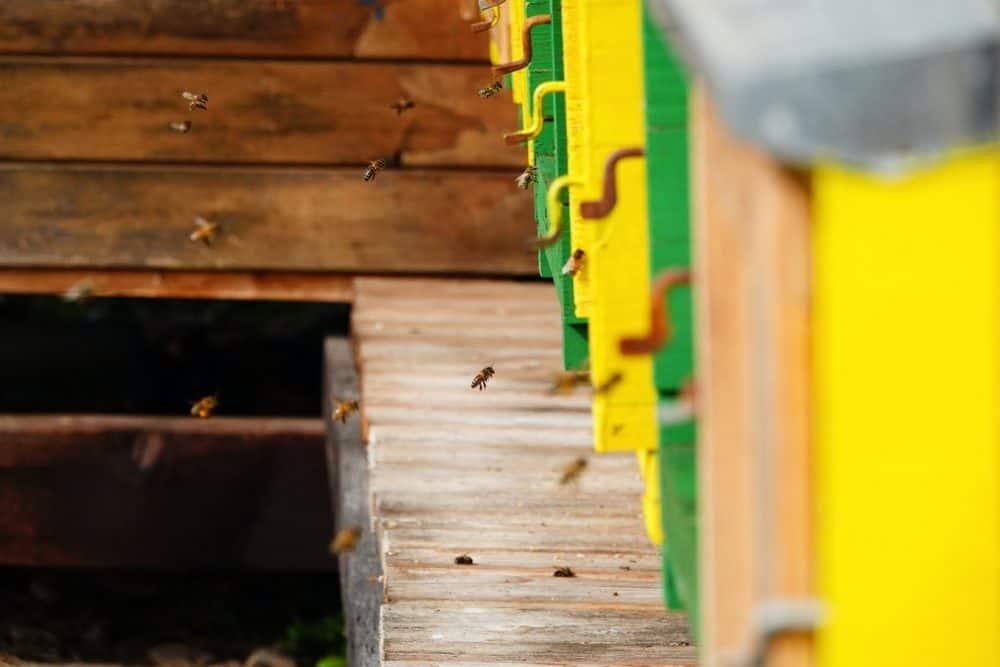 caprenter bees